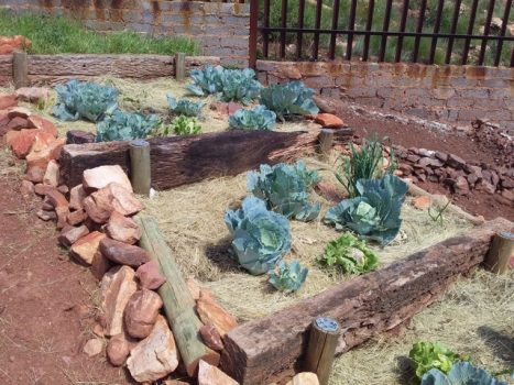 Food-gardens-cabbage-e1566227570354
